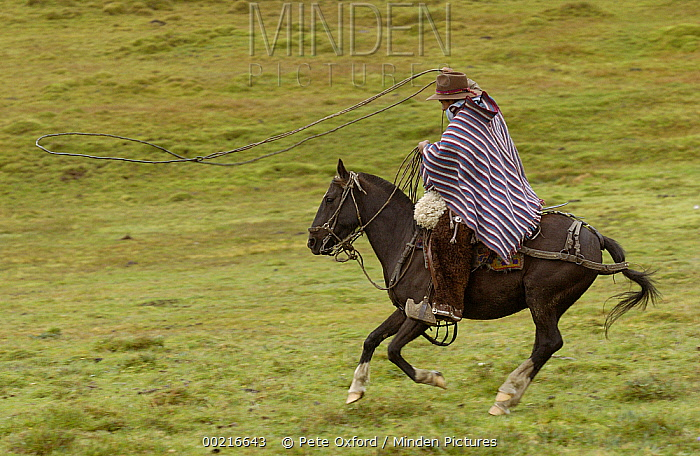 Chagra cowboy riding fast on his Domestic Horse (Equus caballus) over Paramo grassland with his lasso at a hacienda during the annual cattle round-up, Andes Mountains, Ecuador  -  Pete Oxford