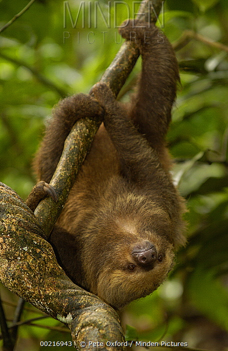 Southern Two-toed Sloth (Choloepus didactylus) using long claws to navigate a tree trunk, South America  -  Pete Oxford