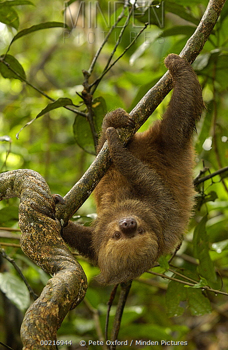 Southern Two-toed Sloth (Choloepus didactylus) using long claws to climb a tree limb, South America  -  Pete Oxford