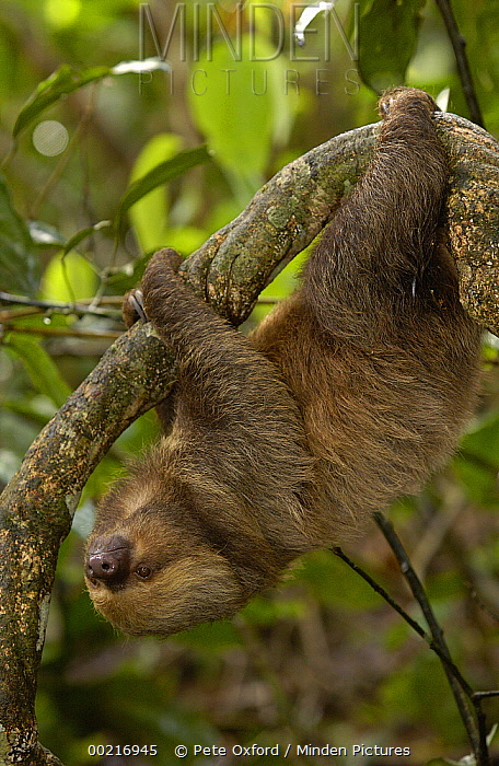 Southern Two-toed Sloth (Choloepus didactylus) hanging in rainforest tree, South America  -  Pete Oxford