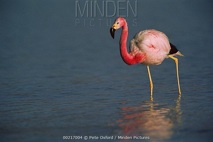 Andean Flamingo (Phoenicopterus andinus) wading, Laguna Blanca, Eduardo Avaroa Faunistic Reserve, Andes Mountains, southwestern Bolivia  -  Pete Oxford
