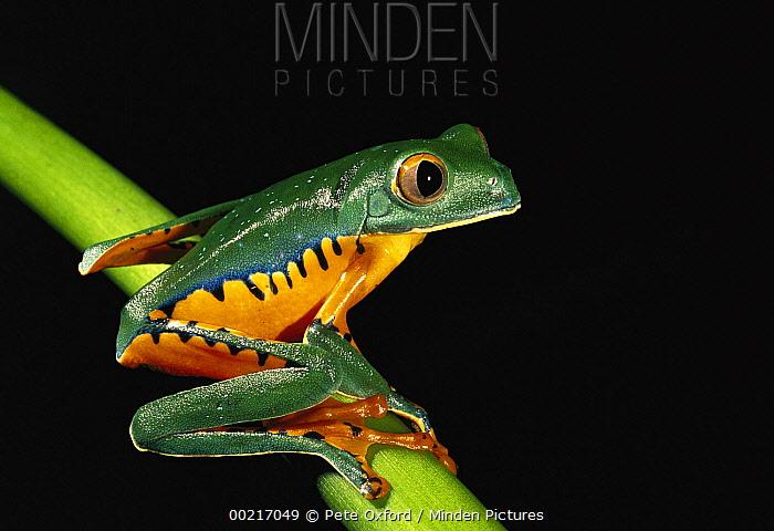 Splendid Leaf Frog (Agalychnis calcarifer) sitting on plant stem, Esmeraldas, northwestern Ecuador  -  Pete Oxford