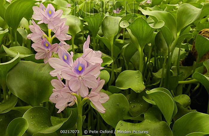 Common Water Hyacinth (Eichhornia crassipes) blooming, capable of doubling in size every 7 to 12 days, 982,000 hectare Yasuni National Park, the largest in Ecuador  -  Pete Oxford