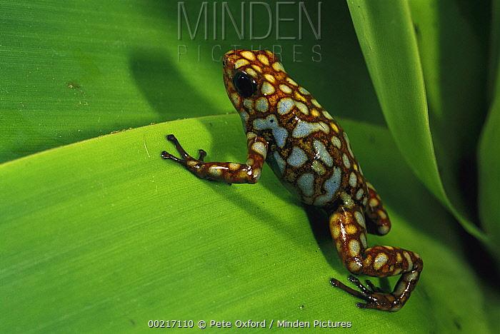 Splendid Poison Dart Frog (Dendrobates sylvaticus) on a leaf in the Choco Rainforest, Esmeraldas Province, northwestern Ecuador  -  Pete Oxford