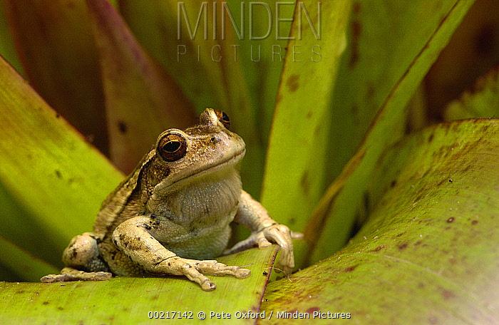 Marsupial Frog (Gastrotheca riobambae) male, Andes Mountains, Ecuador  -  Pete Oxford