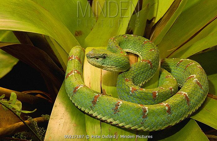 Eyelash Viper (Bothriechis schlegelii) venomous, arboreal, Esmeraldas, Ecuador  -  Pete Oxford