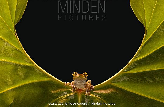 Cloud Forest Tree Frog (Hyla pellucens) sitting on edge of leaf, Choco Rainforest, northwest Ecuador  -  Pete Oxford