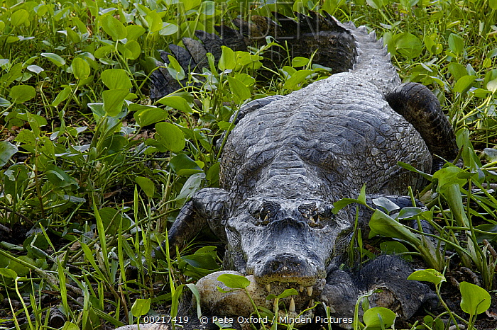 Spectacled Caiman (Caiman crocodilus) feeding on prey, Pantanal, Brazil  -  Pete Oxford
