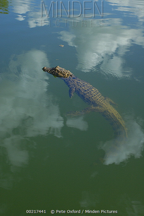 Broad-snouted Caiman (Caiman latirostris) floating in calm waters, South America  -  Pete Oxford