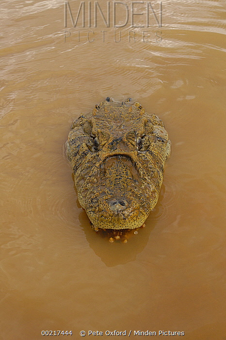Broad-snouted Caiman (Caiman latirostris) emerging from muddy water, South America  -  Pete Oxford