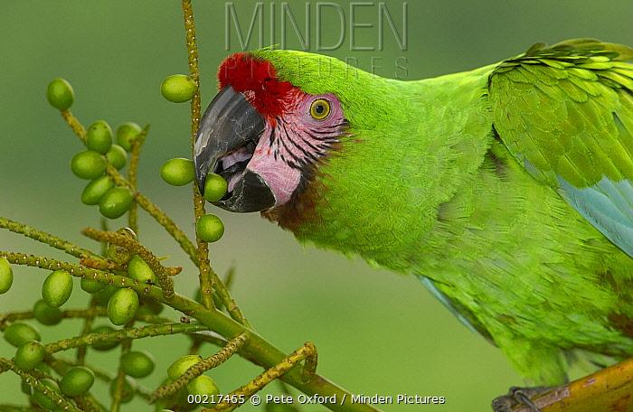Military Macaw (Ara militaris) portrait, feeding on palm fruit, Amazon rainforest, Ecuador  -  Pete Oxford