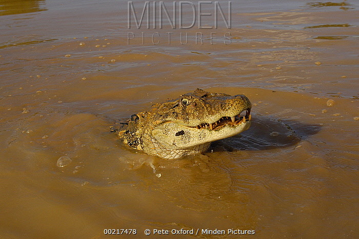 Broad-snouted Caiman (Caiman latirostris) emerging from swamp, South America  -  Pete Oxford