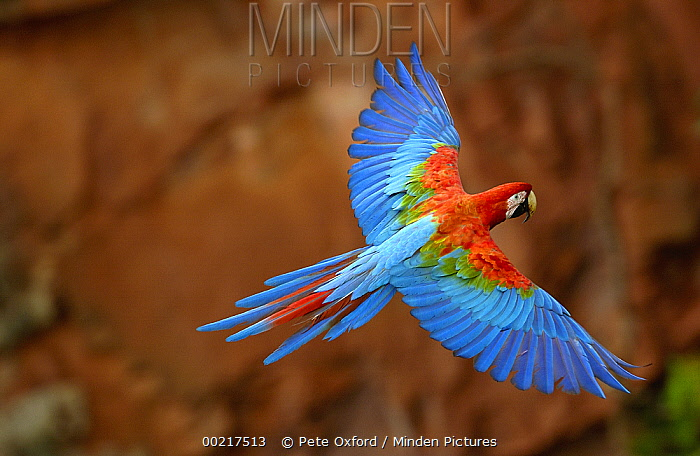 Red and Green Macaw (Ara chloroptera) flying, wings spread, back view, wild, ranges from humid east Panama to Brazil, east Peru, north-east Bolivia and Paraguay, Cerrado habitat, Mato Grosso do Sul, Brazil  -  Pete Oxford
