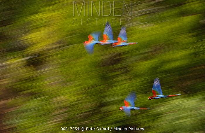 Red and Green Macaw (Ara chloroptera) group flying, Cerrado habitat, Mato Grosso do Sul, Brazil  -  Pete Oxford