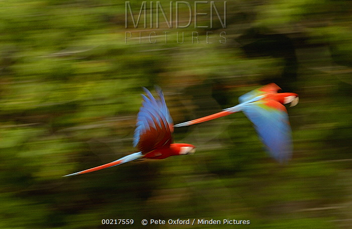Red and Green Macaw (Ara chloroptera) pair flying, Cerrado habitat, Mato Grosso do Sul, Brazil  -  Pete Oxford