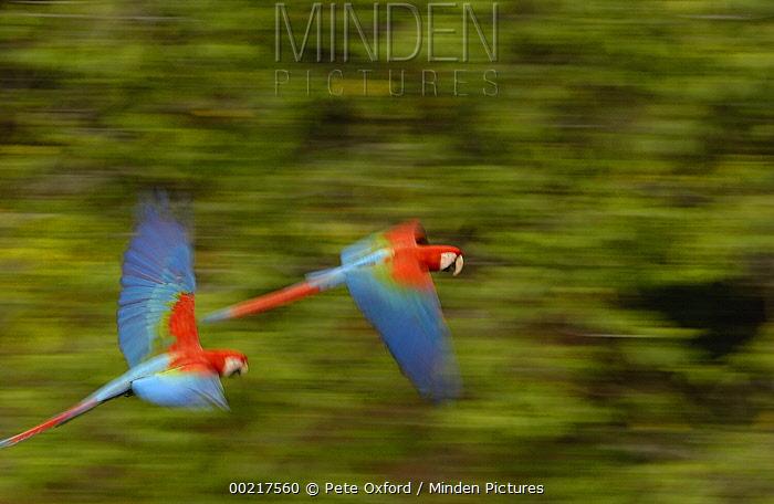 Red and Green Macaw (Ara chloroptera) pair flying, Cerrado habitat, Mato Grosso do Sul, Brazil  -  Pete Oxford