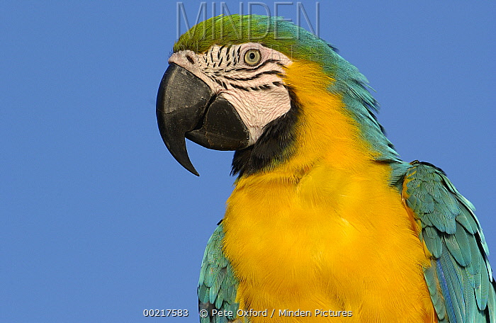 Blue and Yellow Macaw (Ara ararauna) portrait, native to Amazon rainforest, South America  -  Pete Oxford