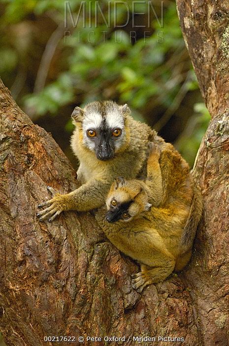Brown Lemur (Lemur fulvus) female and baby, eastern rainforest near Perinet, Madagascar  -  Pete Oxford