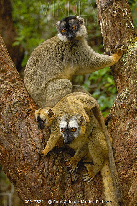 Brown Lemur (Lemur fulvus) male with dark face, female and baby, eastern rainforest near Perinet, Madagascar  -  Pete Oxford