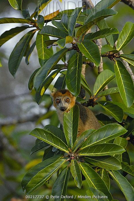 Crowned Lemur (Eulemur coronatus) male in tree, vulnerable, Ankarana Special Reserve, northern Madagascar  -  Pete Oxford