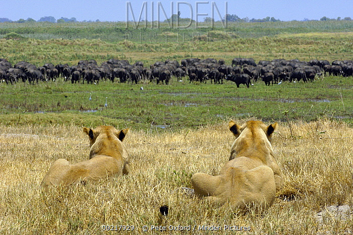 African Lion (Panthera leo) pair of females watching Cape Buffalo (Syncerus caffer) herd, Africa  -  Pete Oxford