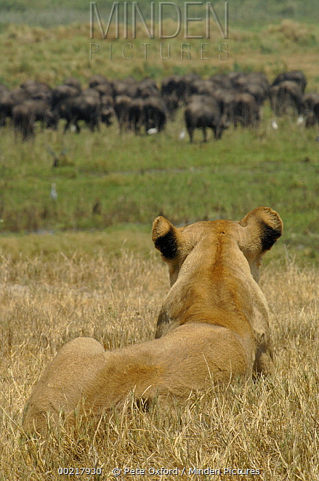 African Lion (Panthera leo) watching Cape Buffalo (Syncerus caffer) herd, Africa  -  Pete Oxford