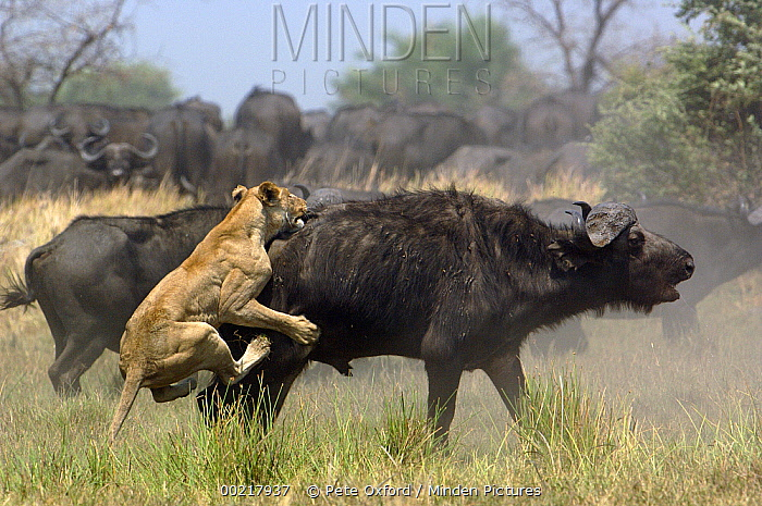 African Lion (Panthera leo) attacking Cape Buffalo (Syncerus caffer), Africa  -  Pete Oxford