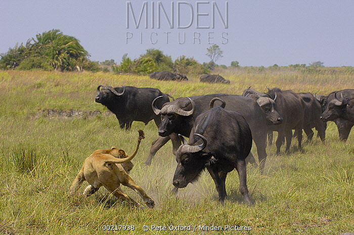African Lion (Panthera leo) evading retaliation by Cape Buffalo (Syncerus caffer) herd, Africa  -  Pete Oxford