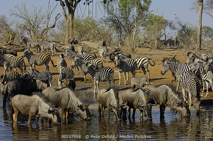 Burchell's Zebra (Equus burchellii) and Blue Wildebeest (Connochaetes taurinus) at Savute Camp waterhole, Botswana  -  Pete Oxford