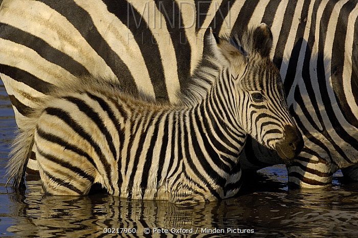 Burchell's Zebra (Equus burchellii) foal standing beside mother in waterhole, Africa  -  Pete Oxford