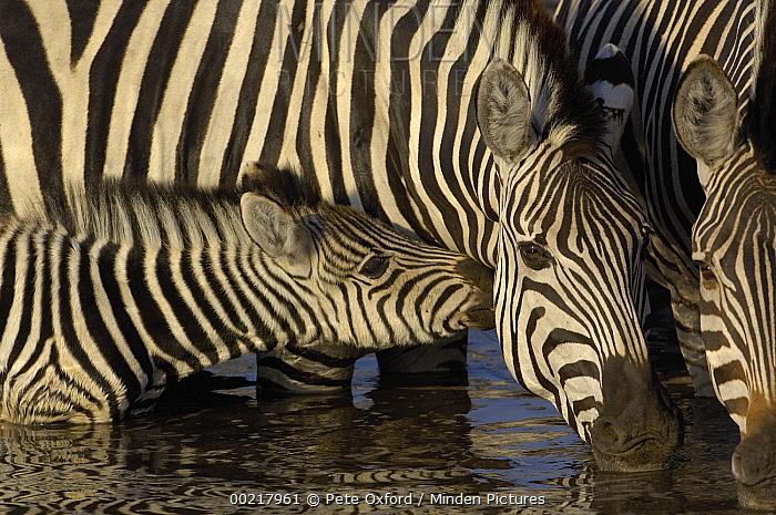 Burchell's Zebra (Equus burchellii) foal nuzzles mother in waterhole, Africa  -  Pete Oxford