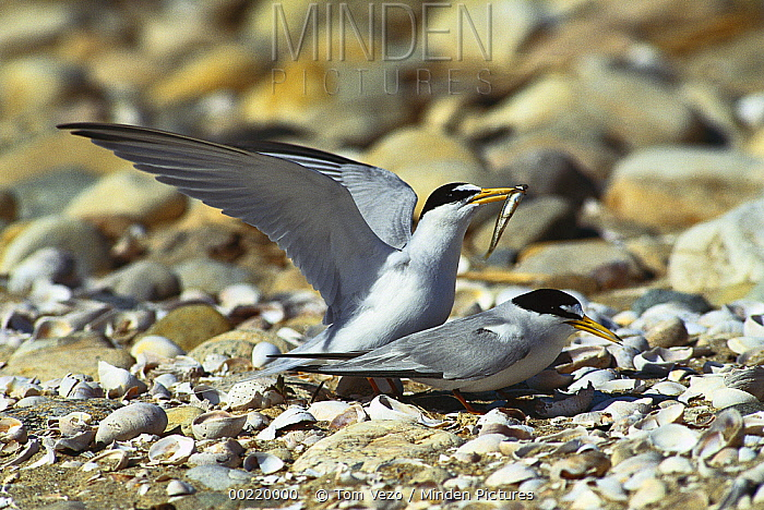 Least Tern (Sterna antillarum) pair mating, Long Island, New York  -  Tom Vezo