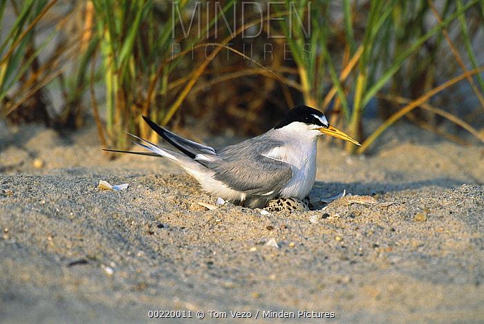 Least Tern (Sterna antillarum) on nest, Long Island, New York  -  Tom Vezo