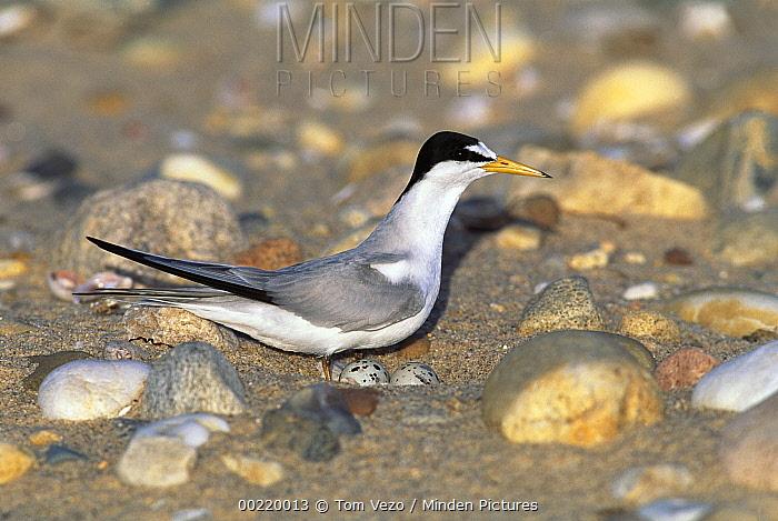 Least Tern (Sterna antillarum) on nest with eggs, Long Island, New York  -  Tom Vezo