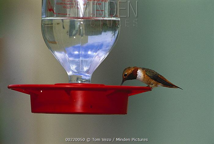 Rufous Hummingbird (Selasphorus rufus) feeding at bird feeder, Green Valley, Arizona  -  Tom Vezo