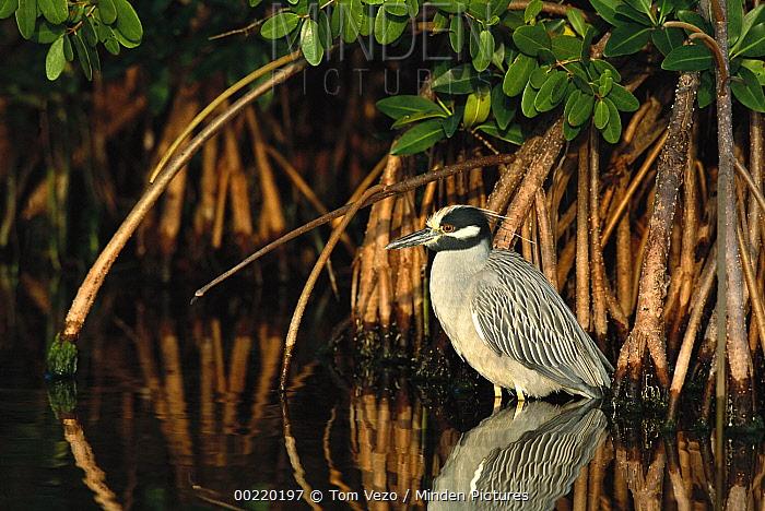 Yellow-crowned Night-Heron (Nyctanassa violacea) wading among Mangrove roots, Florida  -  Tom Vezo