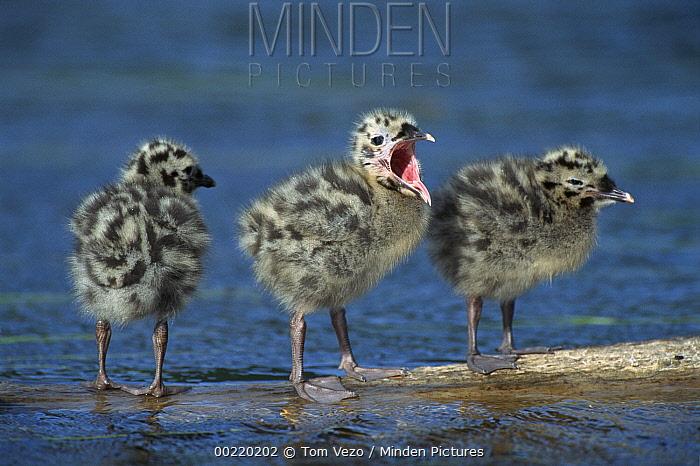 Mew Gull (Larus canus) three chicks standing on submerged log with one calling, Anchorage, Alaska  -  Tom Vezo