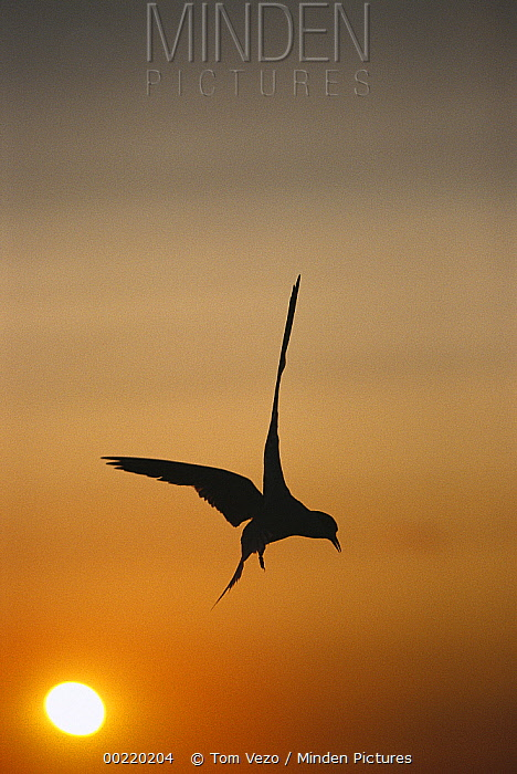 Common Tern (Sterna hirundo) flying at sunset, Long Island, New York  -  Tom Vezo