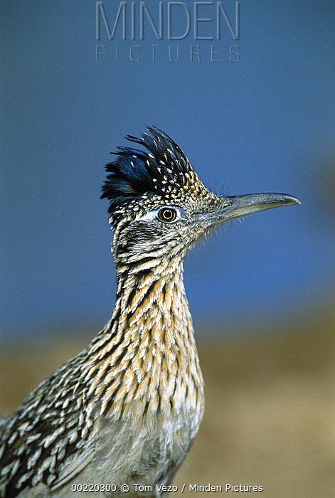 Greater Roadrunner (Geococcyx californianus) portrait, Green Valley, Arizona  -  Tom Vezo