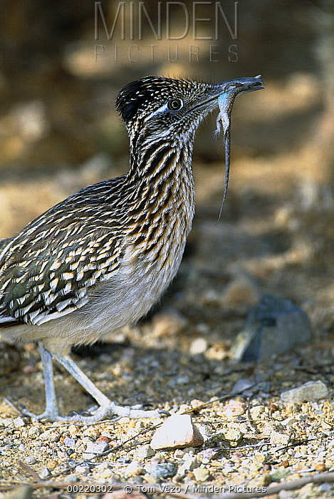 Greater Roadrunner (Geococcyx californianus) with lizard, Green Valley, Arizona  -  Tom Vezo