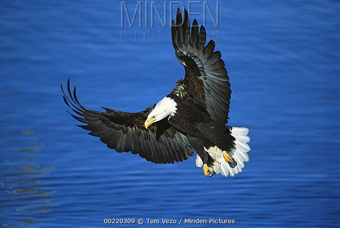 Bald Eagle (Haliaeetus leucocephalus) flying over water, Kenai Peninsula, Alaska  -  Tom Vezo