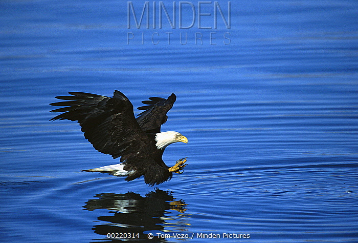 Bald Eagle (Haliaeetus leucocephalus) striking at fish, Kenai Peninsula, Alaska  -  Tom Vezo