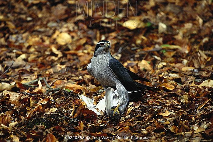Northern Goshawk (Accipiter gentilis) on forest floor with captured prey, New York  -  Tom Vezo