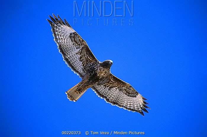 Red-tailed Hawk (Buteo jamaicensis) adult rufous morph flying, Sulphur Springs Valley, Arizona  -  Tom Vezo