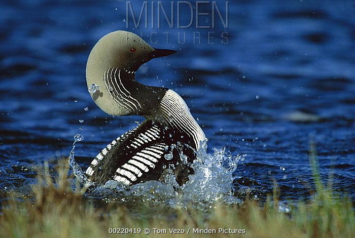 Pacific Loon (Gavia pacifica) courtship display, Churchill, Manitoba, Canada  -  Tom Vezo