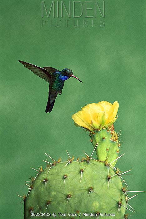 Broad-billed Hummingbird (Cynanthus latirostris) male at yellow cactus flower, Arizona  -  Tom Vezo