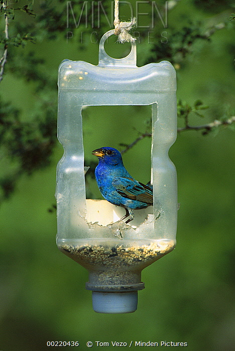 Indigo Bunting (Passerina cyanea) feeding on seeds at birdfeeder, Texas  -  Tom Vezo
