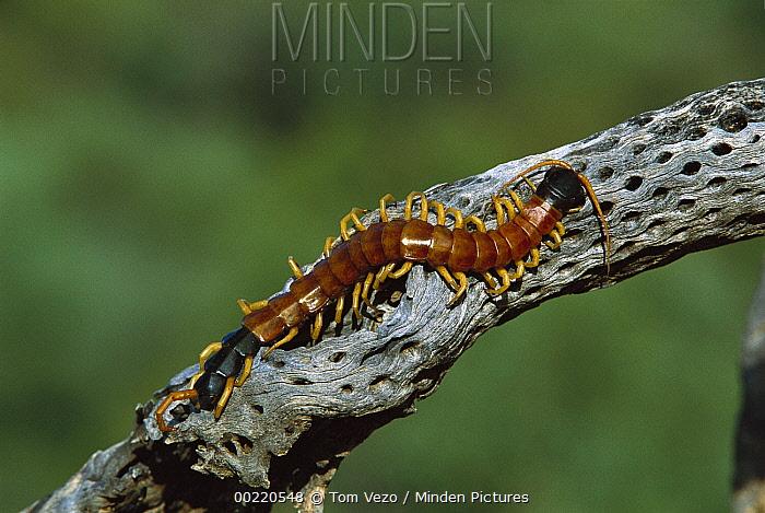 Minden Pictures Stock Photos Giant Desert Centipede Scolopendra