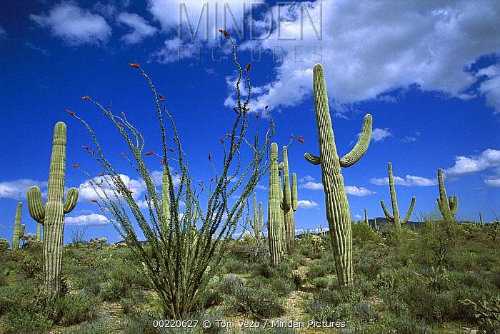 Saguaro (Carnegiea gigantea) cactus, Ocotillo (Fouquieria splendens) Prickly Pear (Opuntia sp) cactus, and Cholla (Opuntia sp) cactus, Sonoran Desert, Tucson, Arizona  -  Tom Vezo