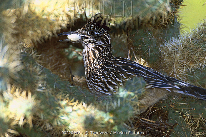 Greater Roadrunner (Geococcyx californianus) parent removing chicks' fecal sac from nest among cactus, Green Valley, Arizona  -  Tom Vezo